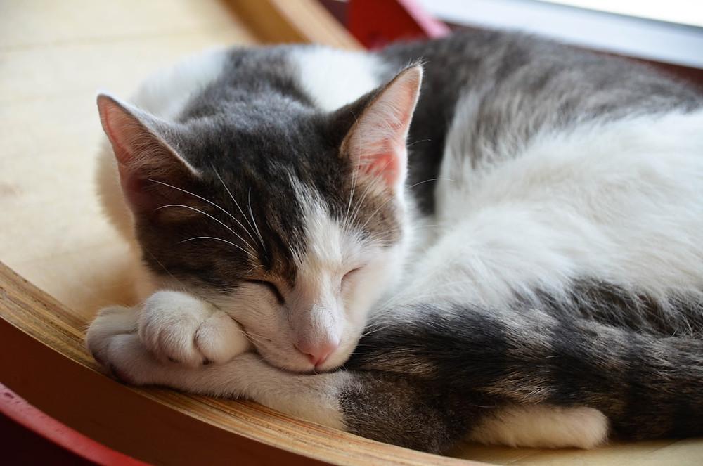 Cat sleeping - TassieCat