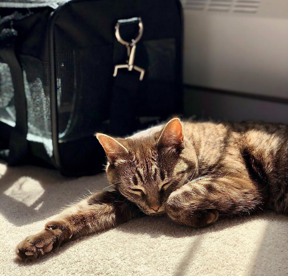 Cat sleeping next to cat carrier - TassieCat