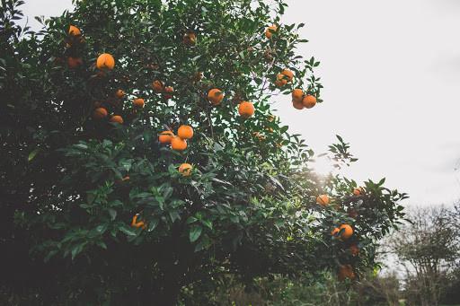 Citrus tree - TassieCat