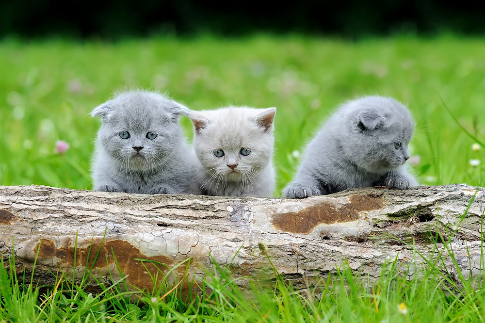 Three kittens - TassieCat