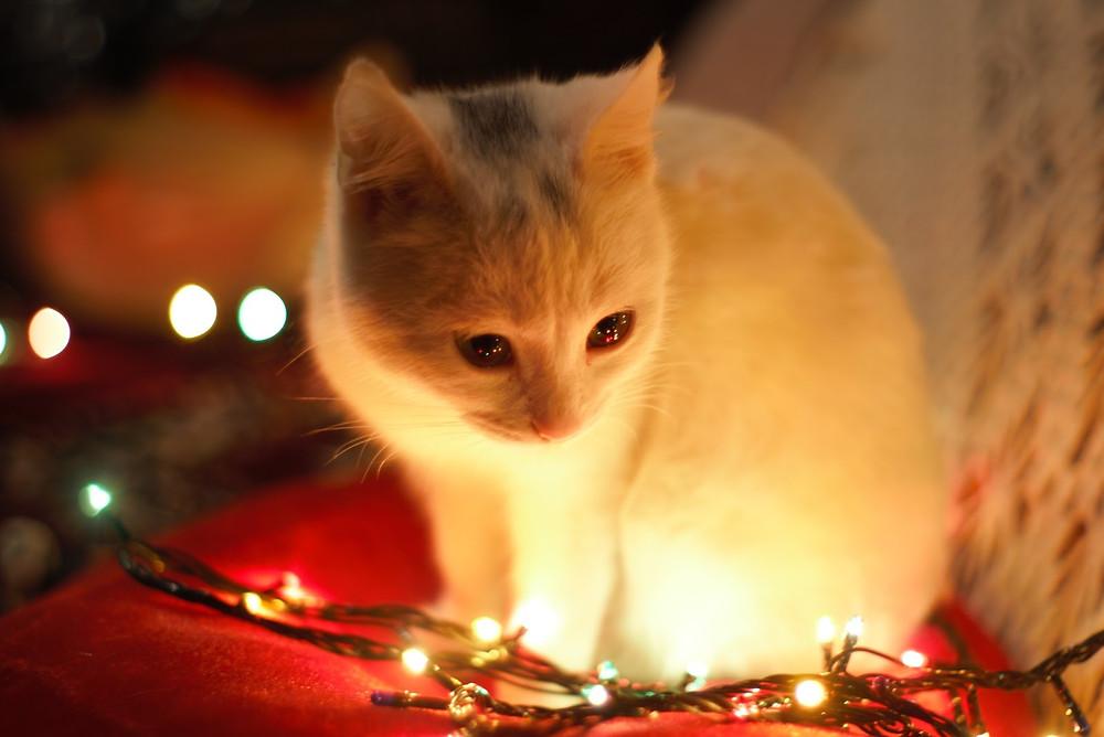 Kitten next to Christmas lights - TassieCat