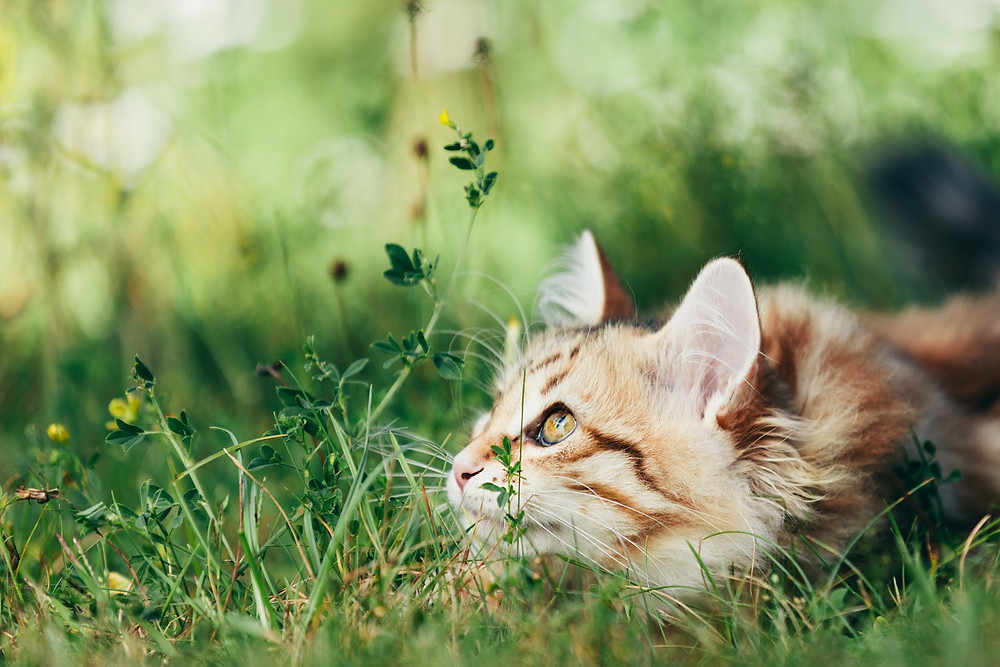 Cat in the grass - TassieCat
