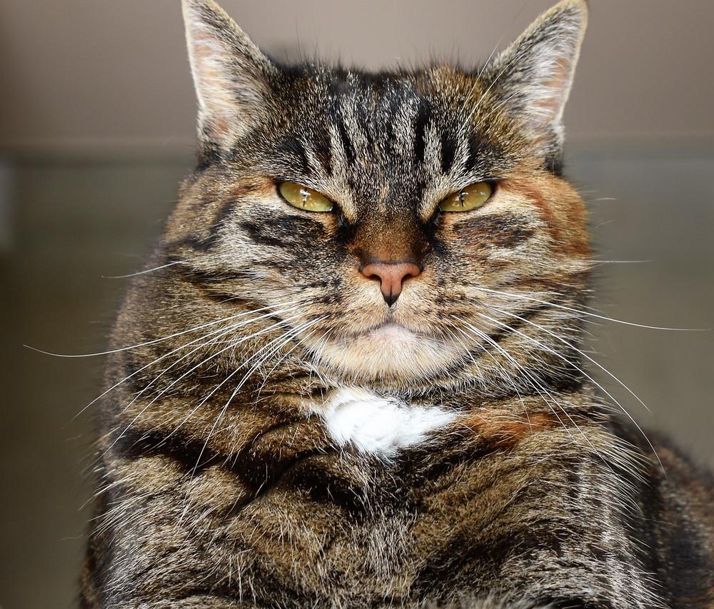 Grumpy cat - TassieCat