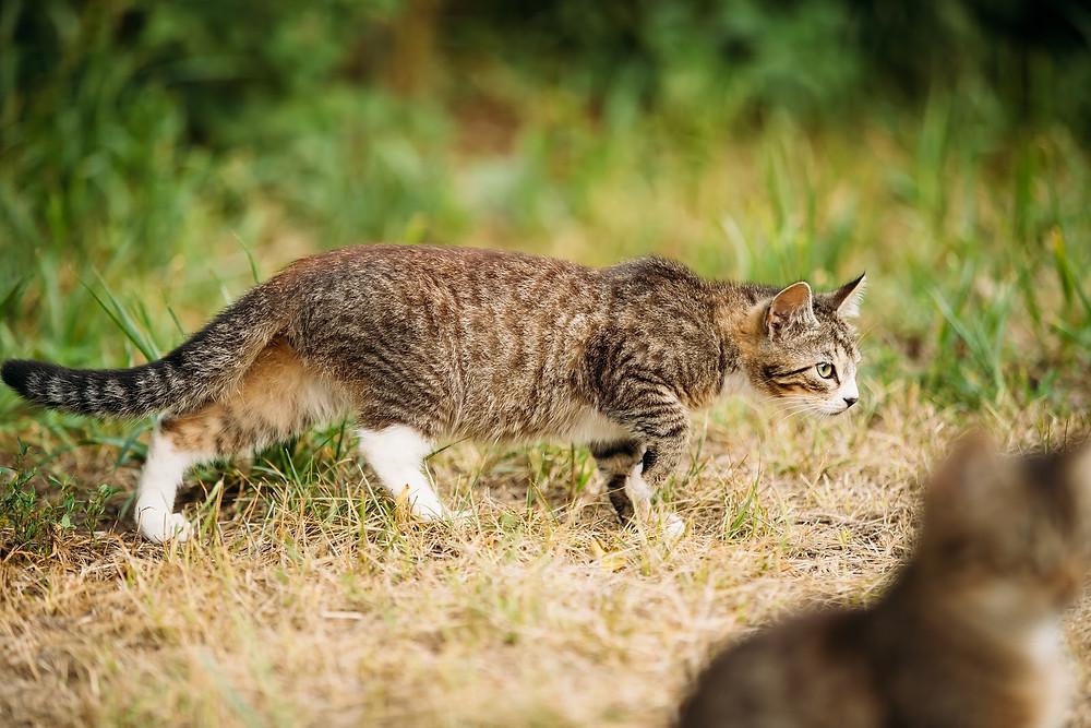 Cat hunting - TassieCat