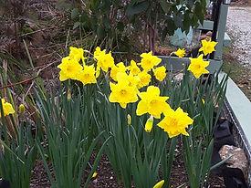 Daffodils at Erriba House