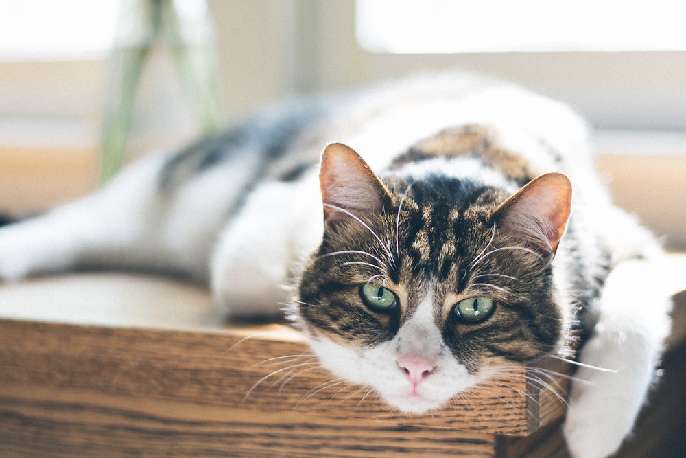 Cat on table - TassieCat