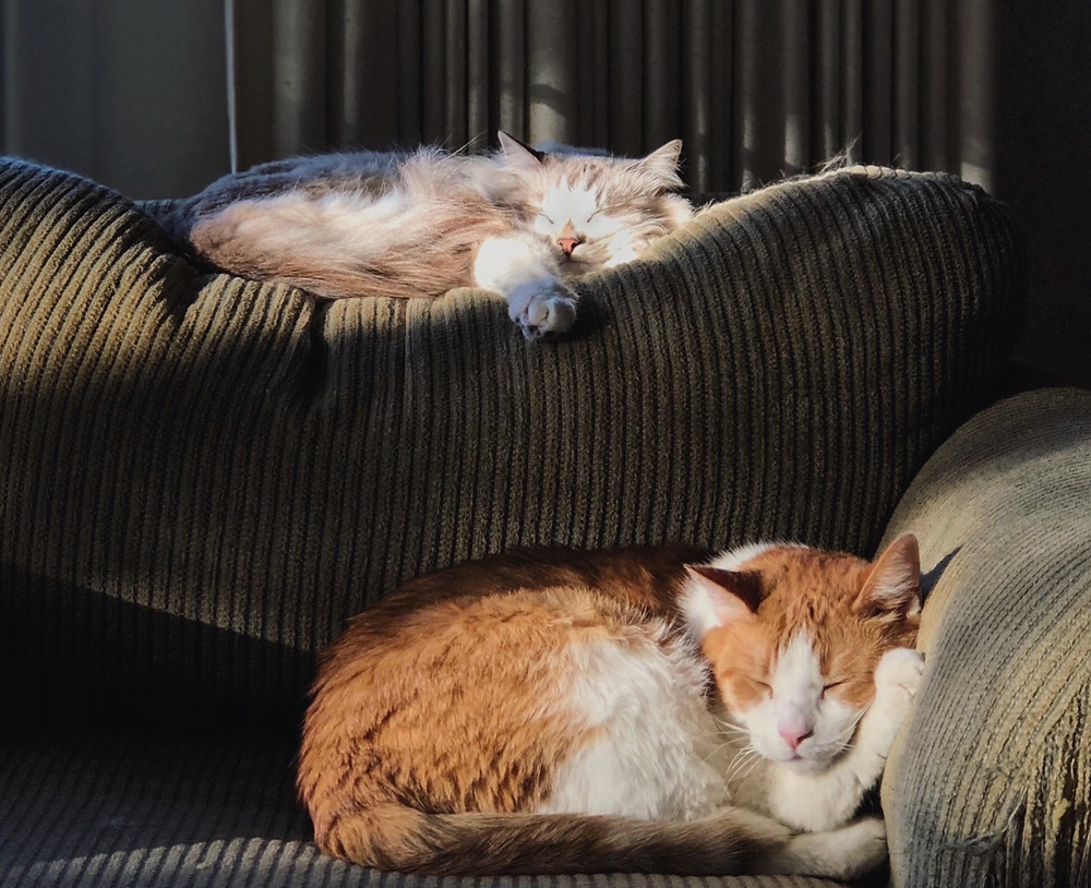 Two cats sleeping on the couch - TassieCat