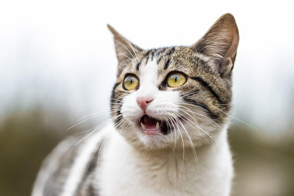 Cat meowing - TassieCat
