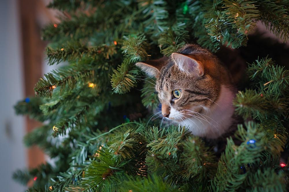 Cat in Christmas tree - TassieCat