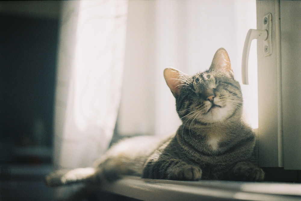 Cat sunbathing in window - TassieCat