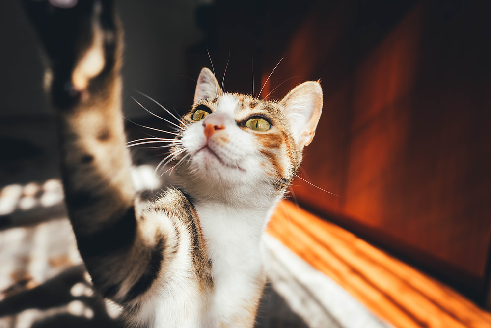 Playing cat - TassieCat