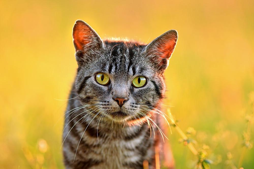 Outdoor cat - TassieCat