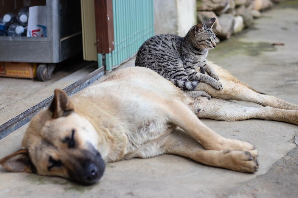 Cat sitting on dog - TassieCat