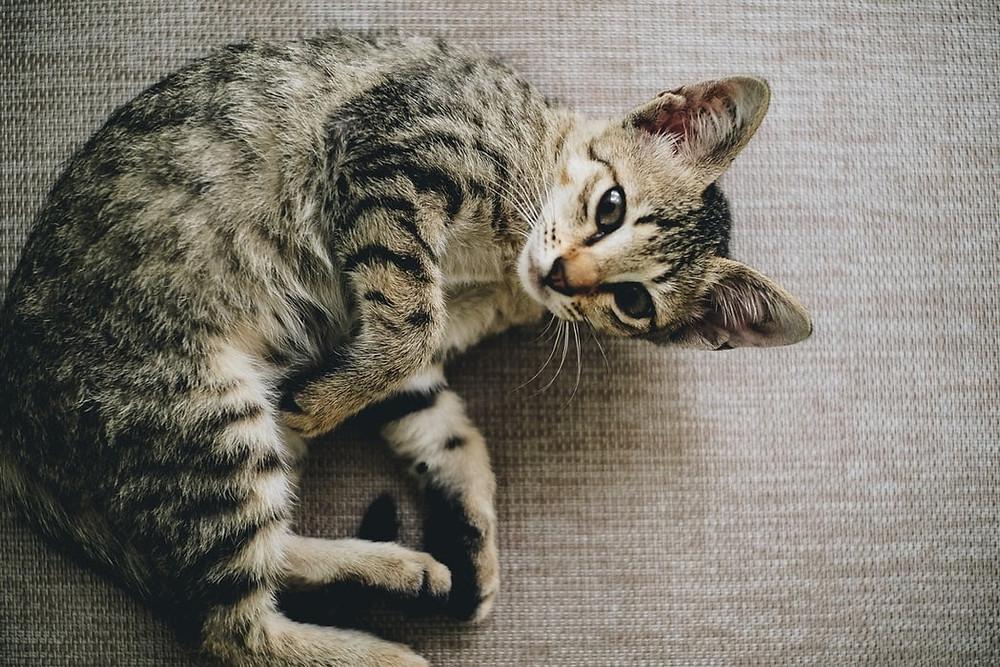 Cat curled up - TassieCat
