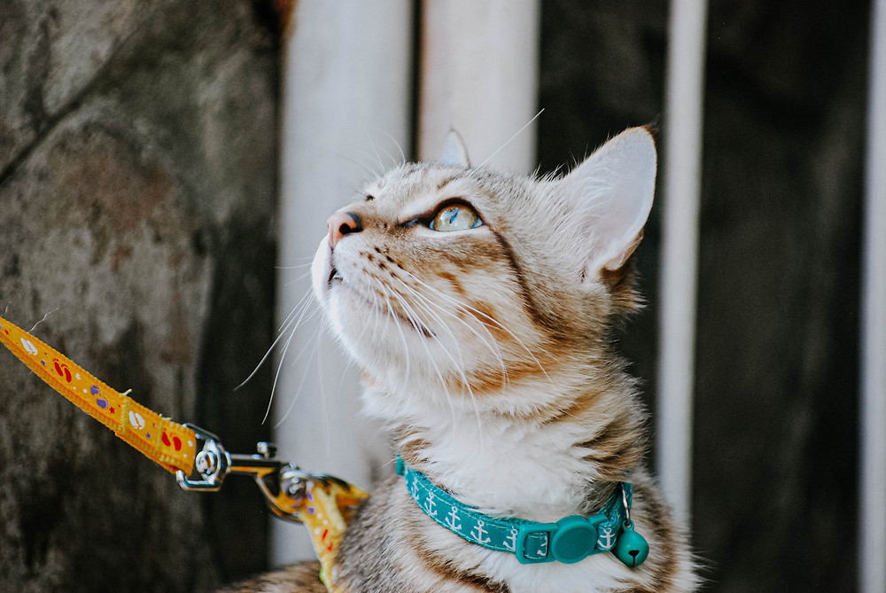 Cat on harness and leash - TassieCat