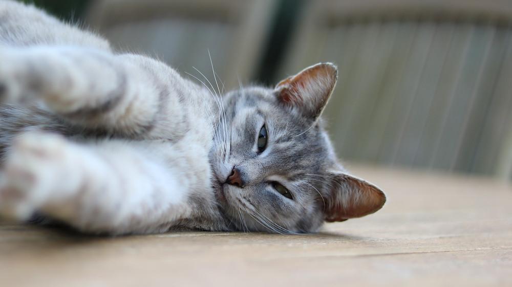 Cat stretching - TassieCat