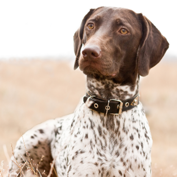 German_Shorthaired_Pointer2.png
