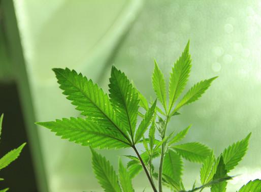 Cannabis treatment candidates