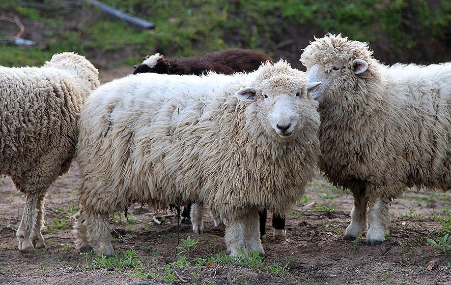 Lã Pura