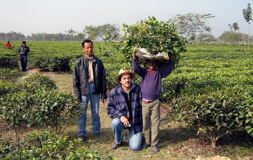 Produção de Chá
