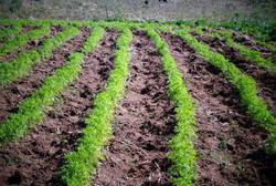 Plantio de Cenoura