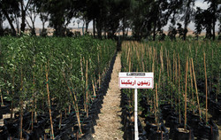 Viveiro de Oliveira na Tunísia