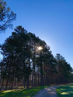Towering Trees & Blue Skies