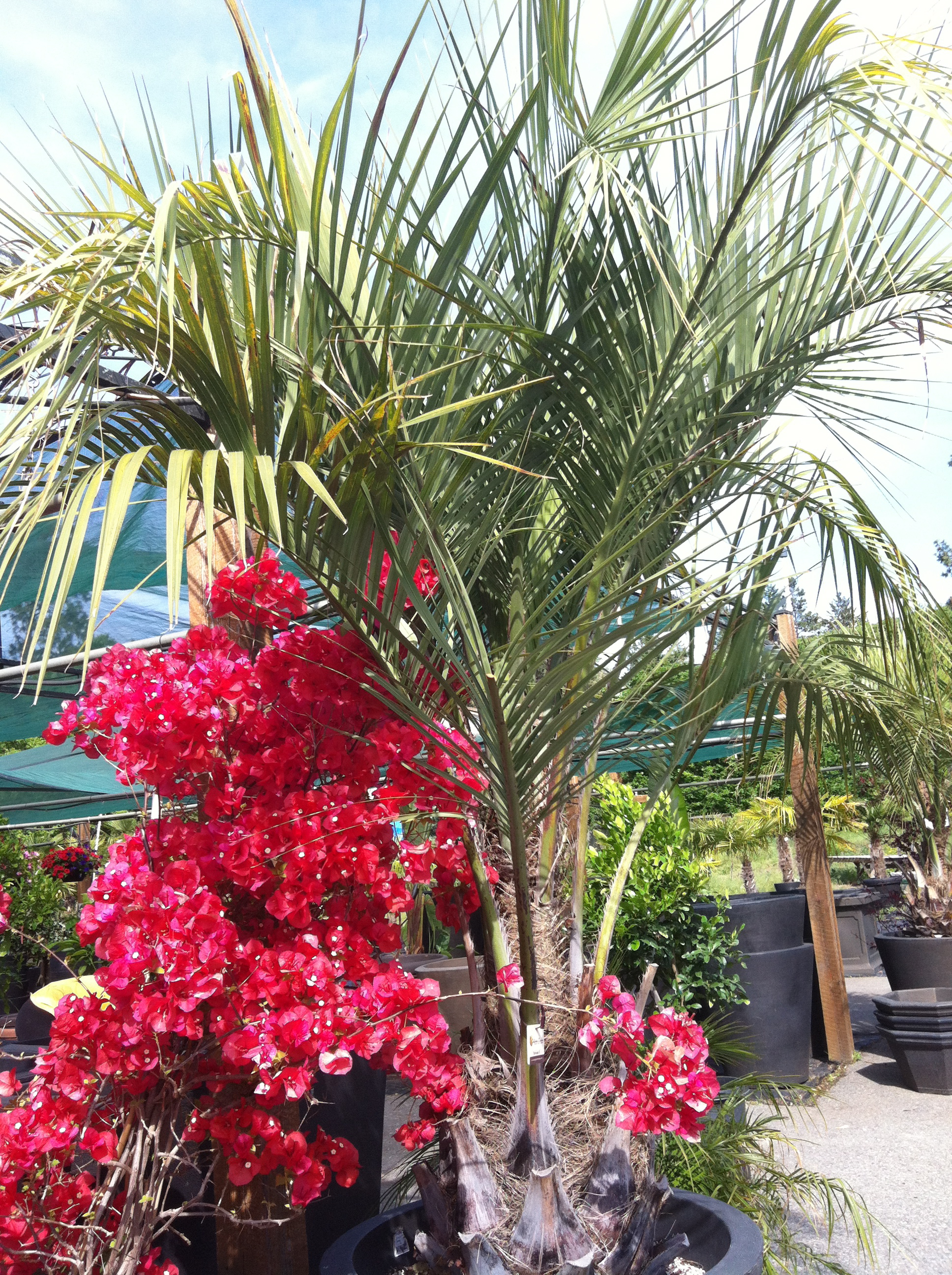 Bougainvillea and Butia Palm
