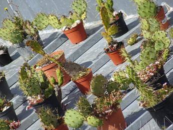 cactus sur toit en taule.JPG