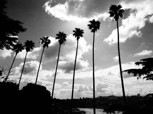 palmiers noir et blanc.JPG