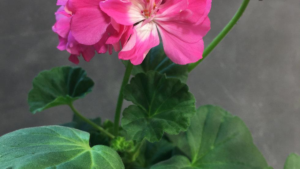Pelargonium, Maria Dangel