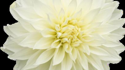 Dahlia, 'Fleurel'