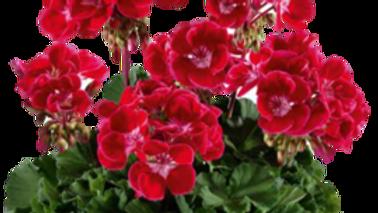 Pelargonium 'Dolce Vita Red Eye'