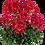 Thumbnail: Pelargonium 'Dolce Vita Red Eye'