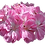 Thumbnail: Pelargonium 'Mrs Parker'
