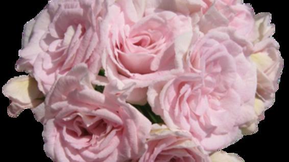 Pelargonium 'Millfield Rose'