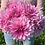 Thumbnail: Dahlia, dinnerplate, 'Lavender Perfection'