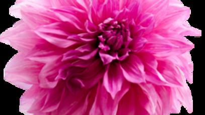 Dahlia, 'Cafe au Lait Rose'