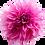 Thumbnail: Dahlia, 'Cafe au Lait Rose'