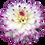 Thumbnail: Dahlia, 'Ferncliff Illusion'