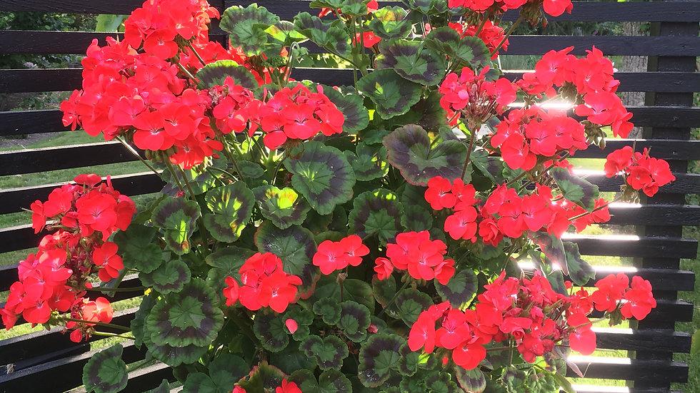 Pelargonium multiblossom red