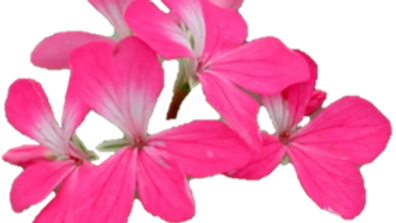 Pelargonium, Kleine Liebling
