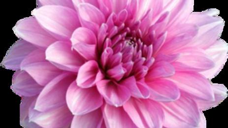 Dahlia, dinnerplate, 'Lavender Perfection'