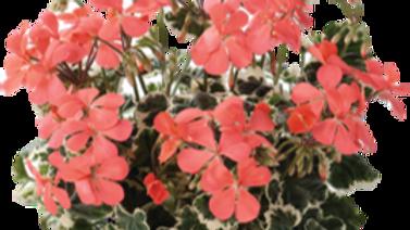 Pelargonium 'Frank Headly'