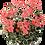 Thumbnail: Pelargonium 'Frank Headly'