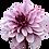 Thumbnail: Dahlia, 'Creme de Cassis'