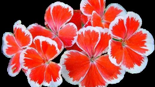 Pelargonium 'Mr Wren'