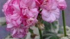Pelargonium 'Chelsea Diane'