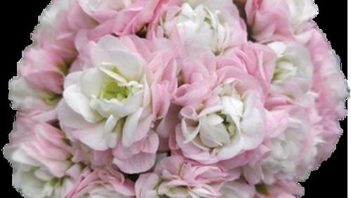 Pelargonium rosenknopps, 'April Snow'