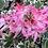 Thumbnail: Pelargonium 'Stella Vernante'
